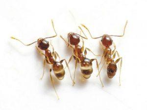 Pragas urbanas: como evitar formigas