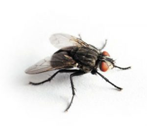 Pragas urbanas: como evitar moscas