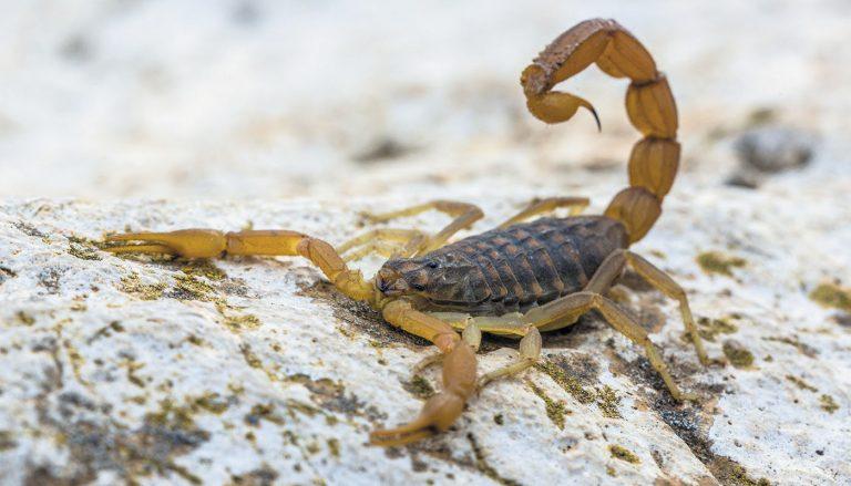 Infestação de Escorpiões em Indaiatuba: saiba como prevenir para manter sua casa protegida